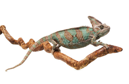 Greenish brown chameleon on branch isolated on white background photo