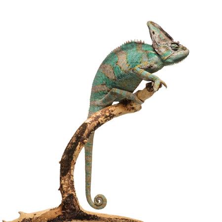 animales del zoologico: Camaleón marrón verdoso en la rama aislado en fondo blanco