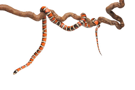 Redblackyellow と滑らかで光沢のある縞模様を持つミルクヘビ スケールの分離ホワイト バック グラウンド