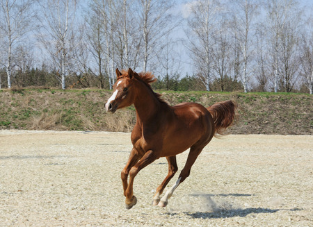 arched neck: Chestnut purebred arabian horse in motion outdoor