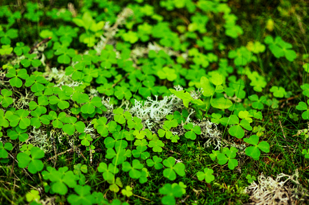 clovers: Close-up of moss, green clovers and grass Stock Photo
