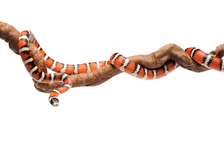 Isolated Arizona mountain kingsnake or Lampropeltis pyromelana on branch
