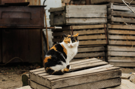 trichromatic: tricolored fluffy cat sitting on the street countryside Stock Photo