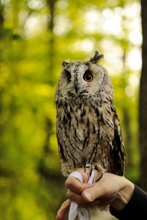eared: Long Eared owl standing on the human hands in forest