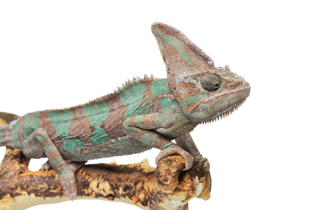 adjusted: Greenish brown chameleon on branch isolated on white background Stock Photo