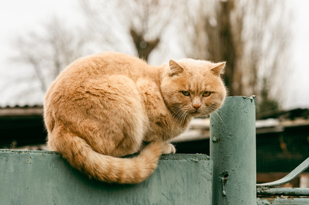 Cute fluffy ginger cat resting on a fence countryside Stock Photo