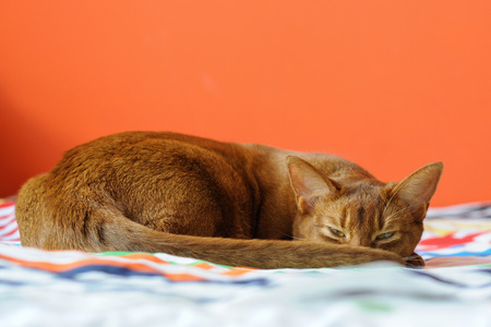 Purebred abyssinian cat lying on couch, indoor Фото со стока