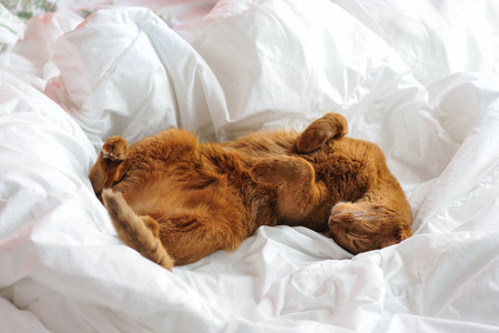 Purebred abyssinian cat lying on bed, indoor