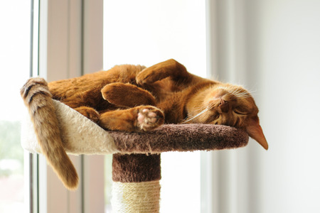 Purebred abyssinian cat lying on scratching post, indoor