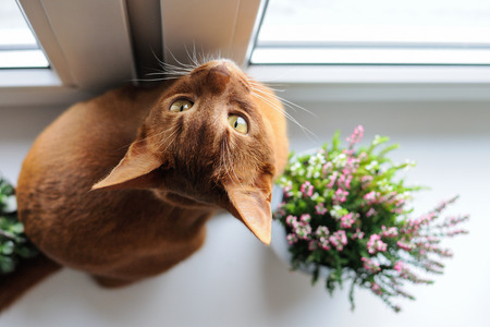 Purebred abyssinian cat sitting on the windowsill with heather and succulents, indoor Stock Photo