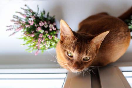 Purebred abyssinian cat sitting on the windowsill with heather and succulents, indoor Фото со стока