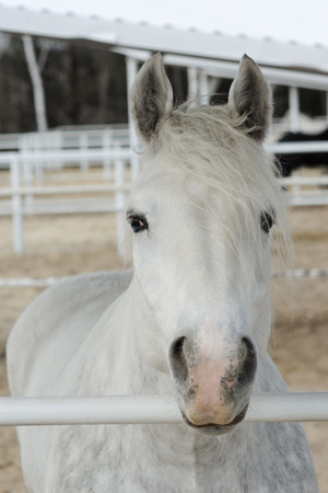 Close-up head of a dapple purebred boulonnais horse in a pen, White Marble Horse Фото со стока