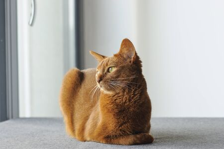 Purebred abyssinian cat sitting near the window, indoor