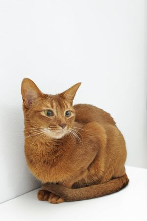 Purebred abyssinian cat sitting in white room, indoor