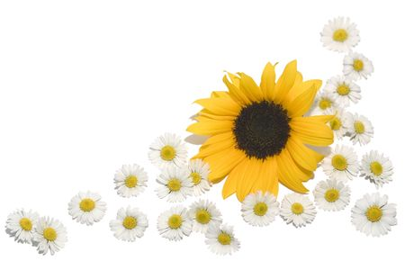 A border made of daisies and a sunflower. photo