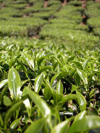 Tea Farm Close Up Leaf