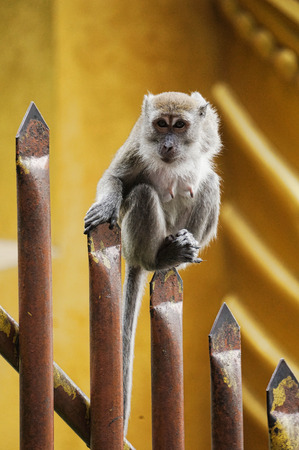 eyes cave: Stare of an monkey standing on the top of sharp fencing
