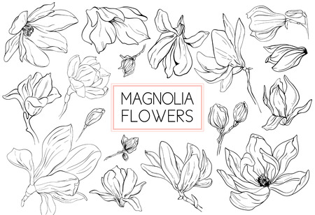 Magnolia flowers drawing and sketch with line-art on white backgrounds.