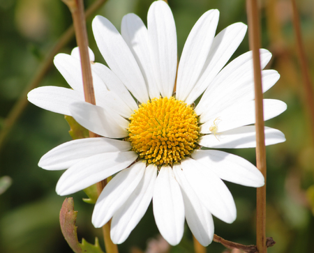 White camomile with a small spider on a flower. The camomile as if was taken prisoner dry stalks of other plant. photo