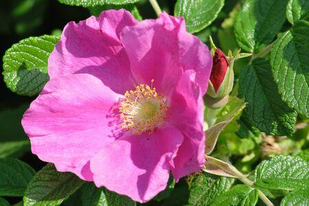 roseleaf: Large flower of a dogrose during summer flowering