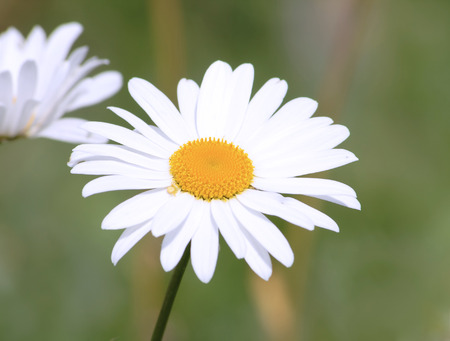 Photo of two flowers of a white chamomile with a yellow core on a background of a green grass photo