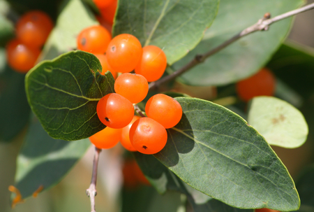however: Branch of inedible wood berries which look very attractively, however it is easily possible to poison with them