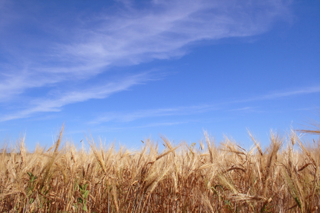 Rye field on a background of the blue sky with clouds photo