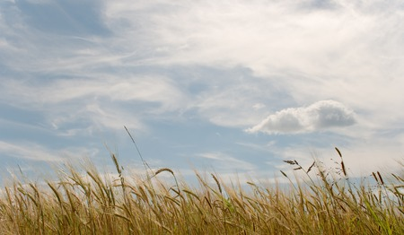 Rye field on a background of the blue sky with clouds Stock Photo - 1640841