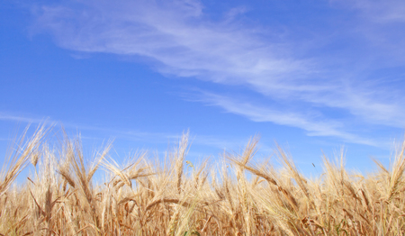 Rye field on a background of the blue sky with clouds Stock Photo - 1640853