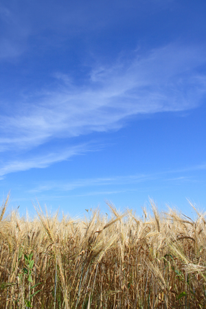 Rye field on a background of the blue sky with clouds Stock Photo - 1640850