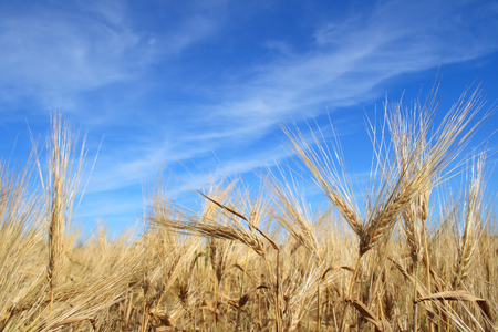 Rye field on a background of the blue sky with clouds Stock Photo - 1640857