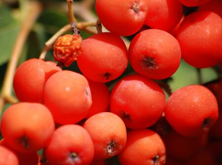 mountain ash: Berries of the ripened mountain ash Stock Photo