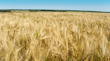 Russian rye field on a background of the blue sky Stock Photo - 1640930