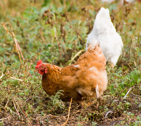 red hen: The red hen on a meadow searches for meal