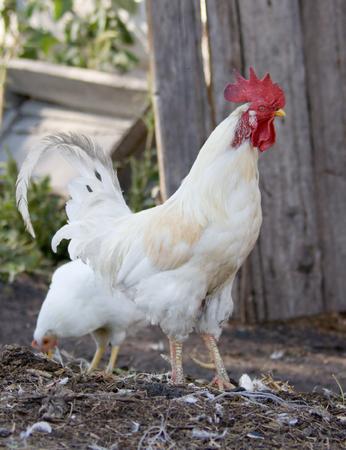 The hens near a henhouse Stock Photo - 1677379