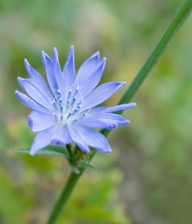 specificity: Flower of blue chicory. Shallow DOF. Close-up. Stock Photo