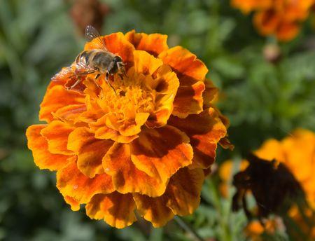 recoger: El zumbido de un brillante decorativo recoge el néctar de flores