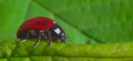 defenceless: Ladybird which creeps on green foliage. Macro, shallow DOF.