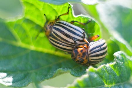 obliteration: Colorado beetle, the world famous annihilator of the potato harvest