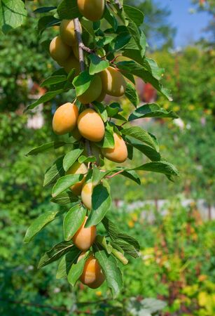 Sweet ripe yellow plum on a branch against the blue sky and green plants photo