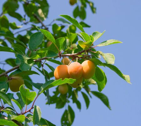 Sweet ripe yellow plum on a branch against the blue sky photo
