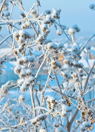 specificity: Prickly bush of a burdock covered with hoarfrost.