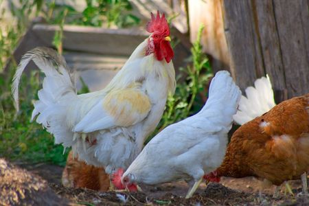 The hens and cock on a meadow Stock Photo - 3351182