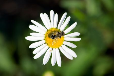 The drone on a chamomile. Macro, shallow DOF. photo