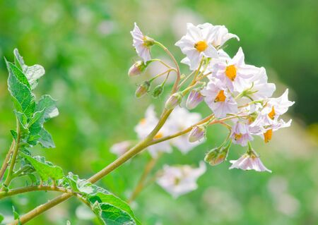potato bloom on green plants background photo
