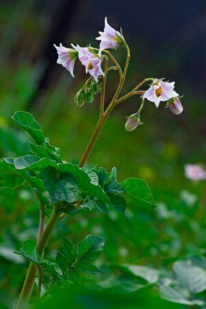 potato bloom on green plants background photo
