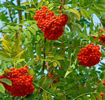 ashberry: ripe berries on an ashberry branch