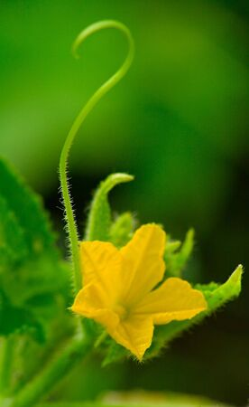 cucumber flower with germs as the question mark photo