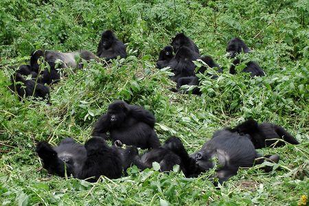 Gran familia de gorilas de montaña