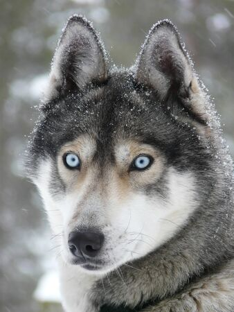 sled: Siberian husky dog (sled dog) with blue eyes in the snow.